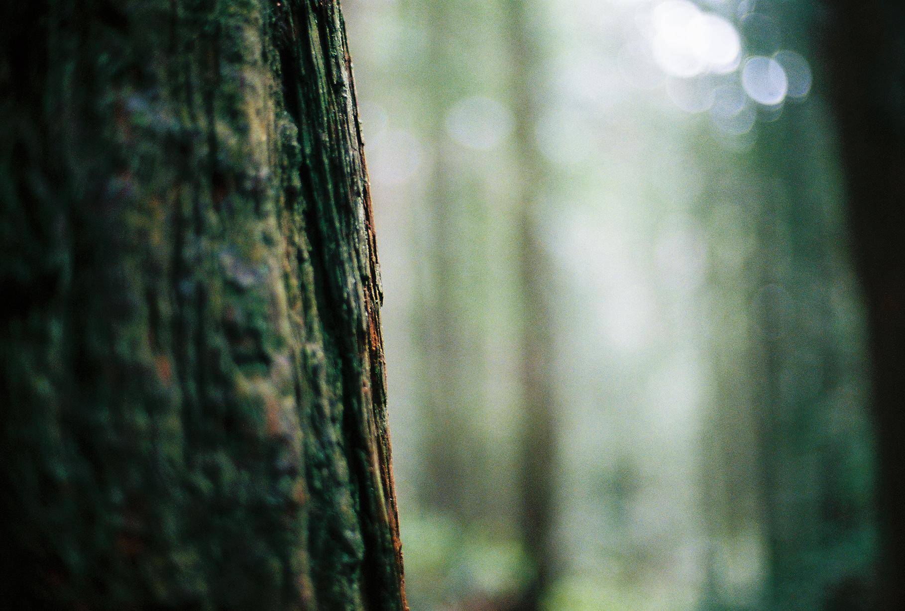 Redwood Trees, Humboldt, 2017.