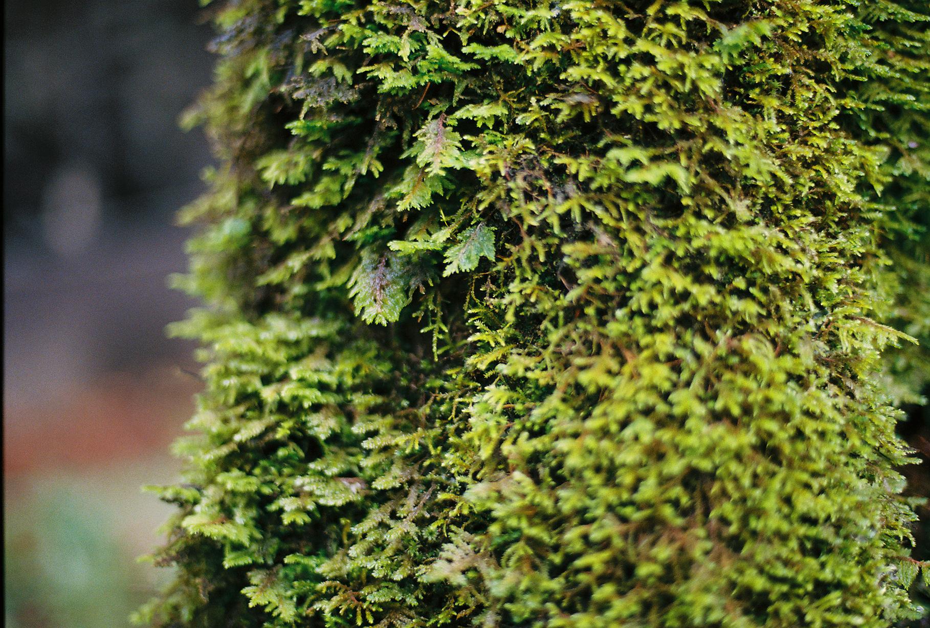 Oregon moss, 2017.