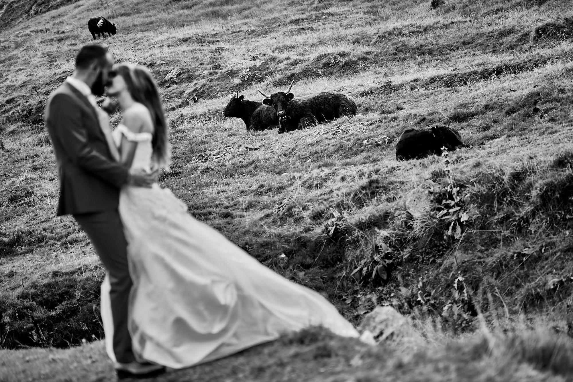 Mariés à la campagne avec les vaches