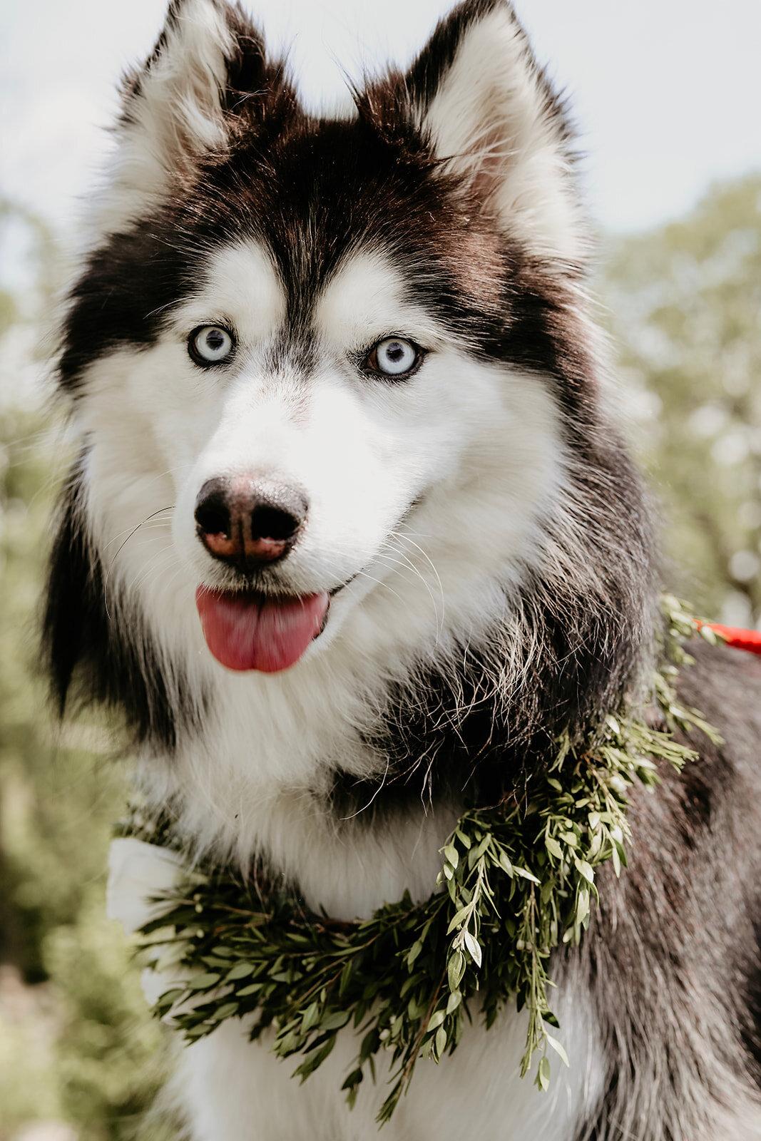 august-wolf-floral-design-huskie-husky-dog-floral-collar-flower-wreath-pup-puppy-greens-florist.jpg
