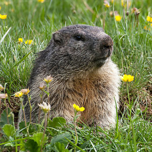 hh-animals-groundhog-4-300x300.jpg