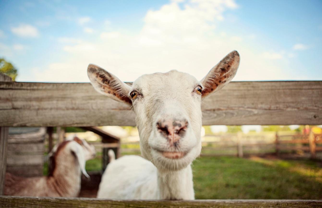 goat milk whey