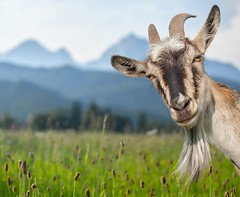 What makes goat whey different? -