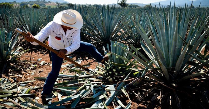 The masterful Jimador at work harvesting the Noble Weber Azul Agave