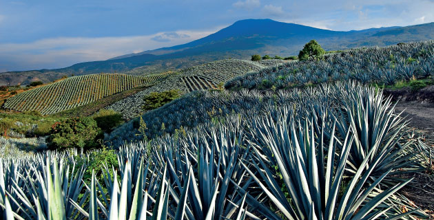 Agave Fields in Michoacan, Mexico