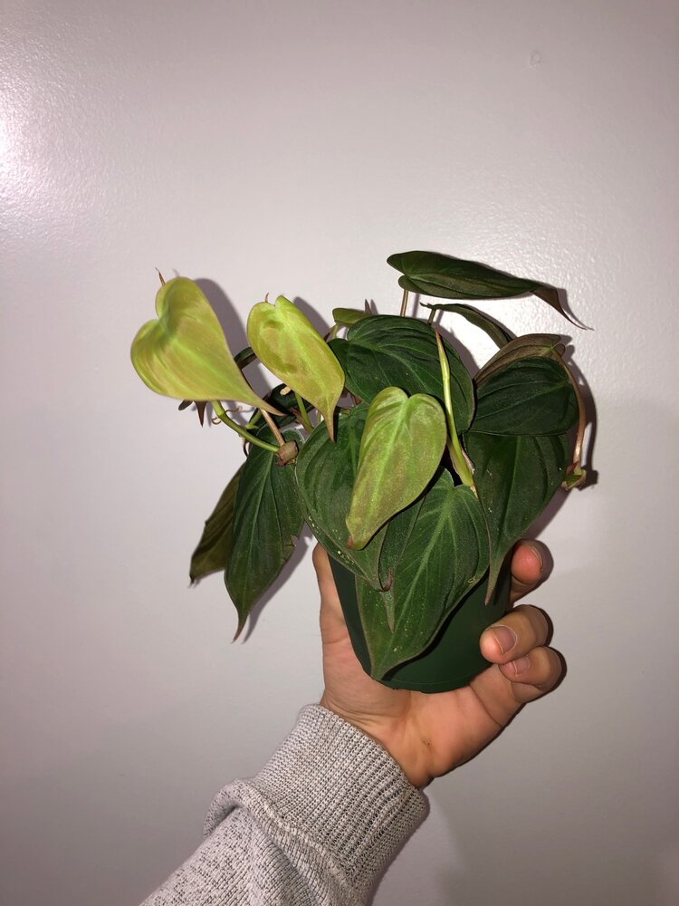 Philodendron Micans 4 Corysfineflora The foliage looks different according to. philodendron micans 4 corysfineflora