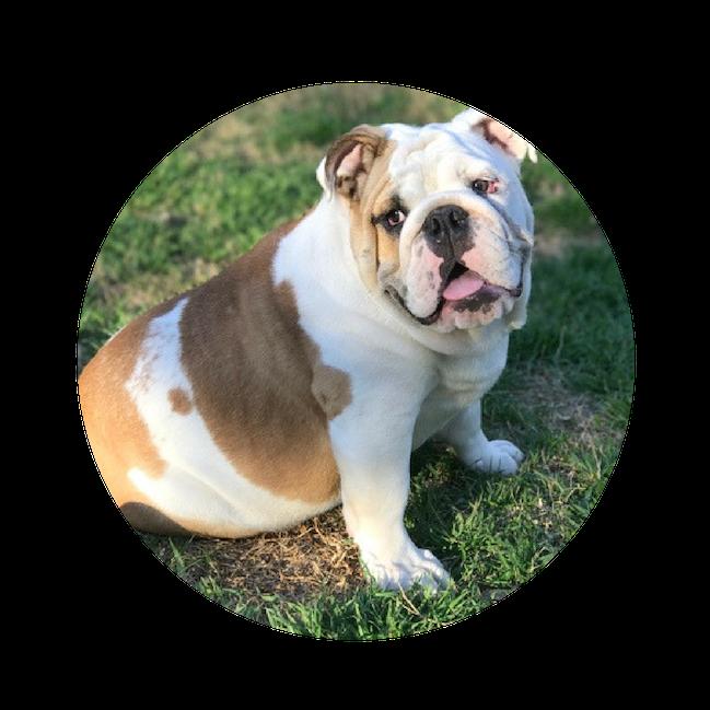 Bulldog - Clean.png