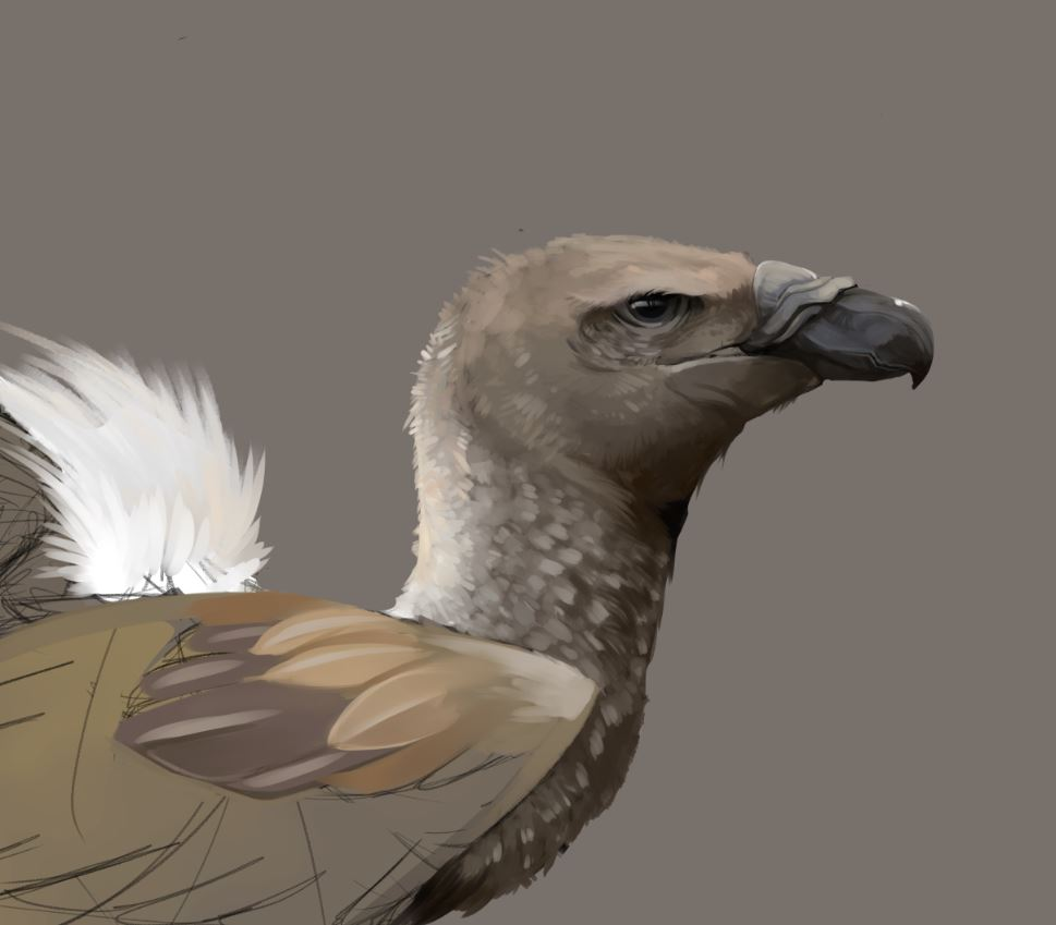 VulturePortraitStudy.JPG