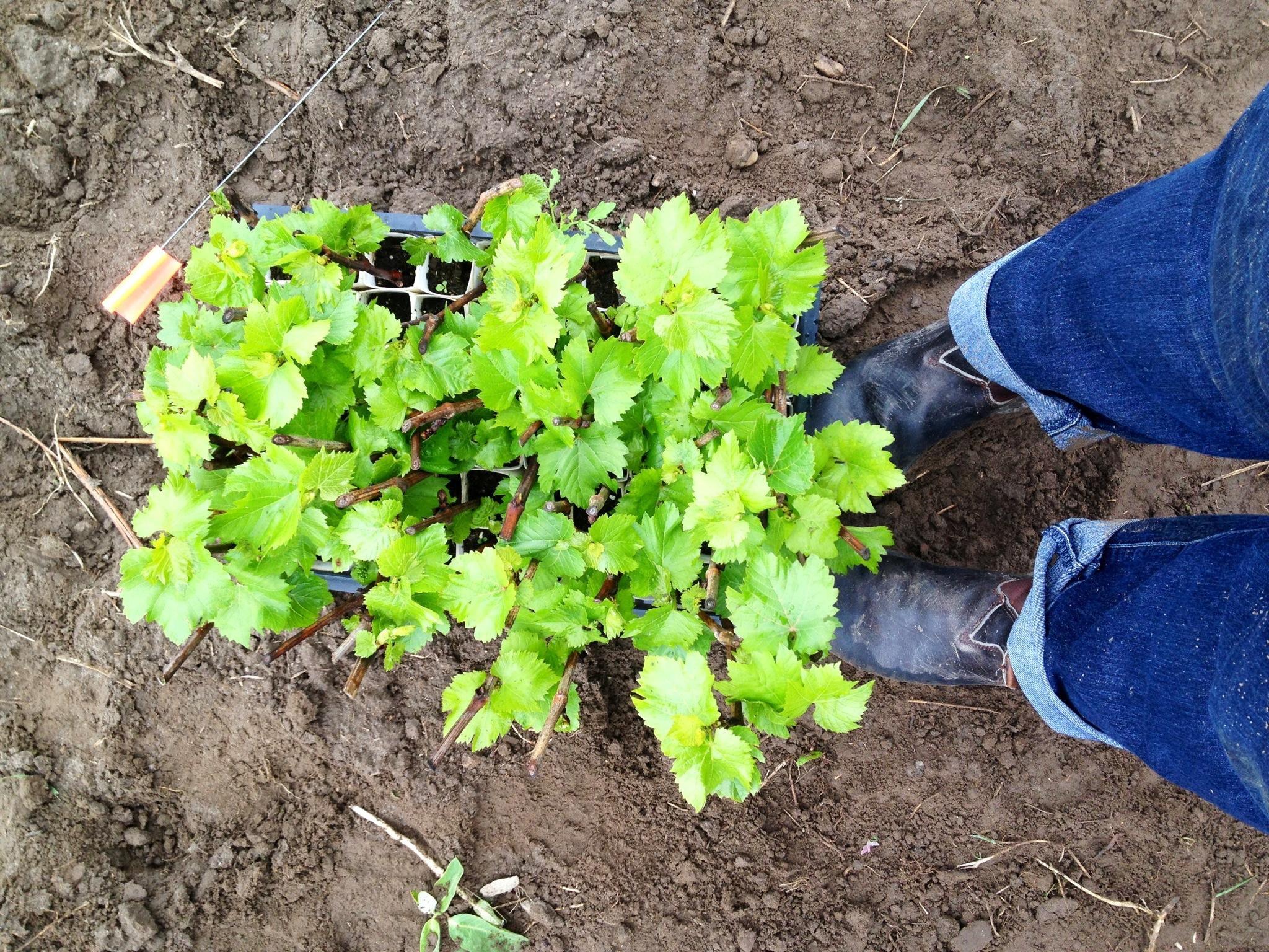 Kari planting Pinot Noir vines in Prince Edward County, Ontario.
