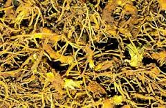 Goldenseal - We use it for:  Runny nose, internal infections, natural insulin, cleansing urinary system, circulation, hemorrhage, nose bleed, pancreas, sinus congestion, sore throat.   Magickal:  Good health, joy, prosperity, success