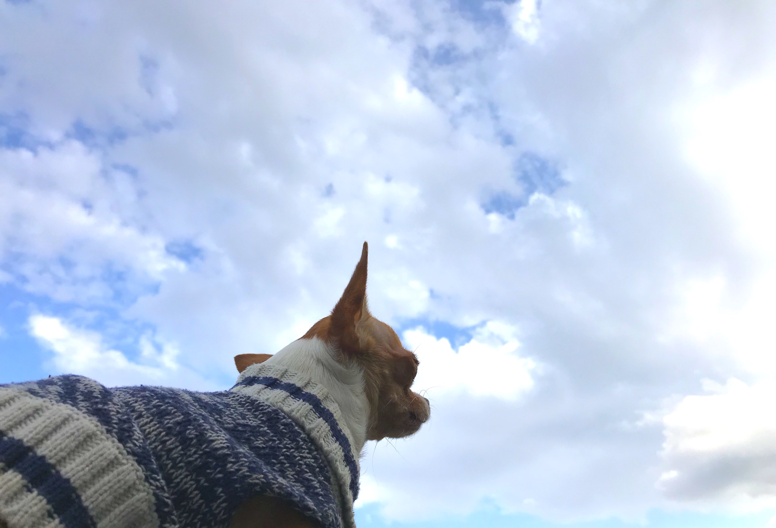 Do you believe in Dreams? - This tiny chihuahua does. And she's living them every day.