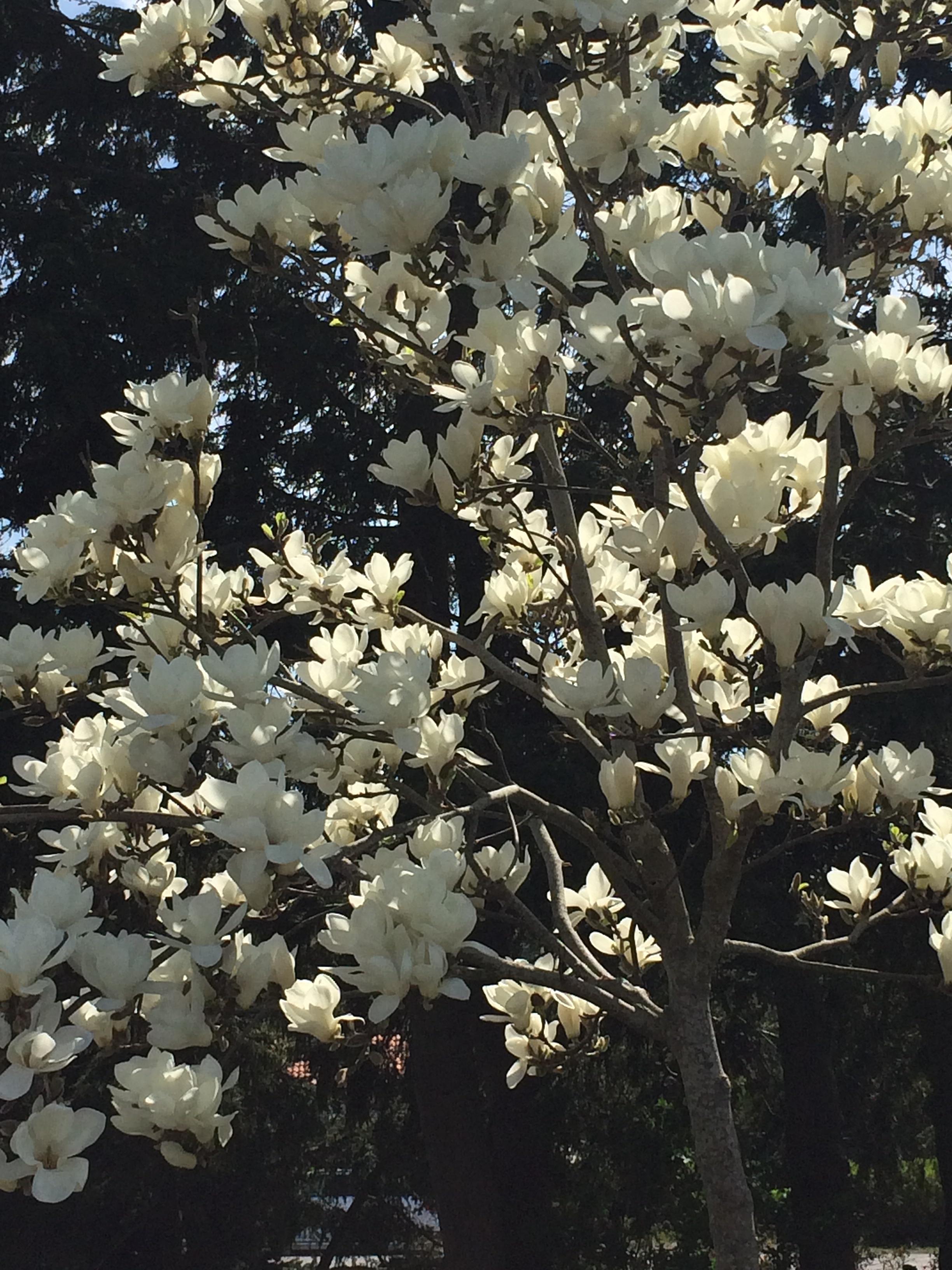 """2. Magnolia """"Denudata"""""""