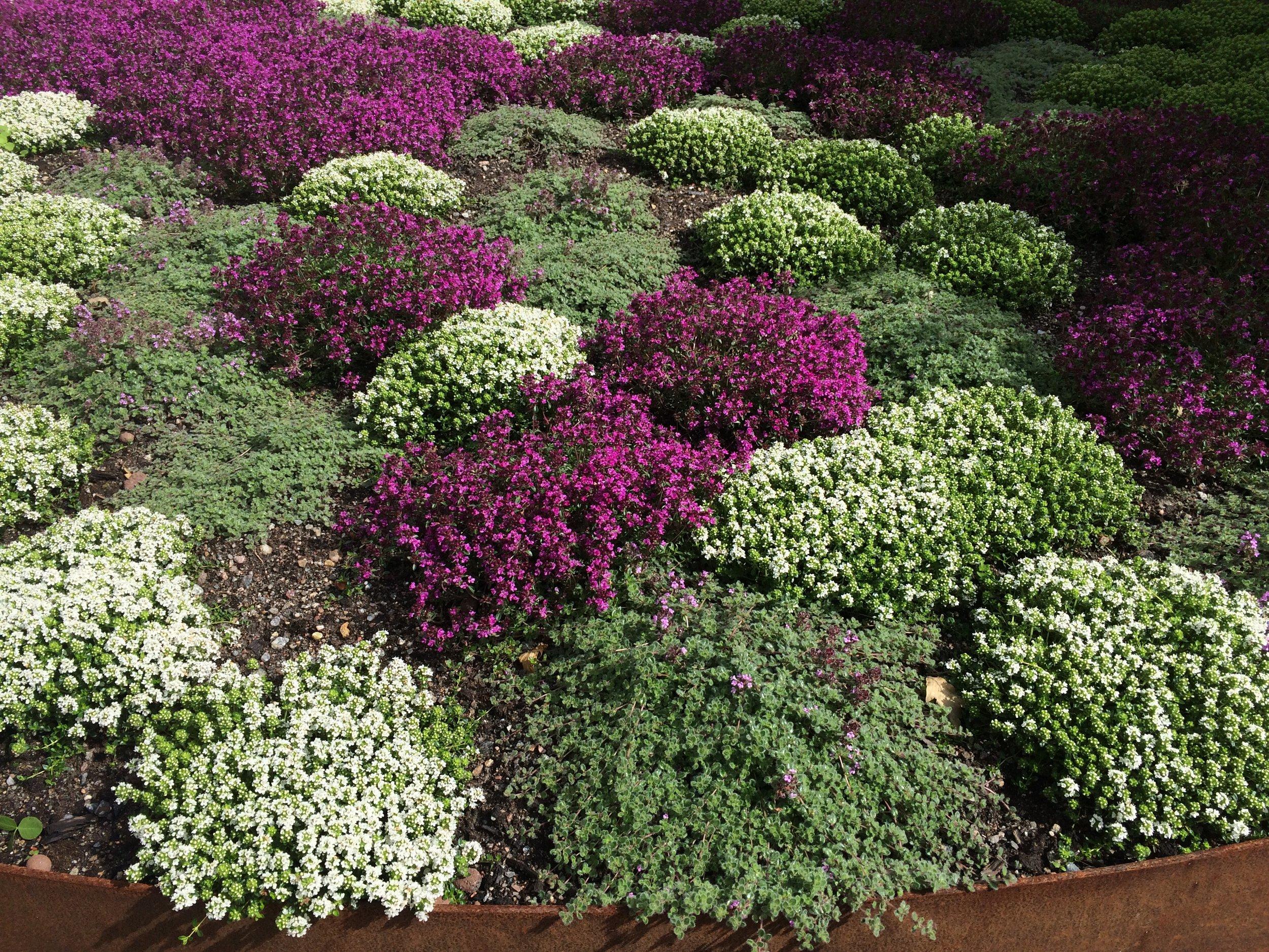 3. Thymus-Backtimjan Coccineus, Thymus Albus och alla de andra...
