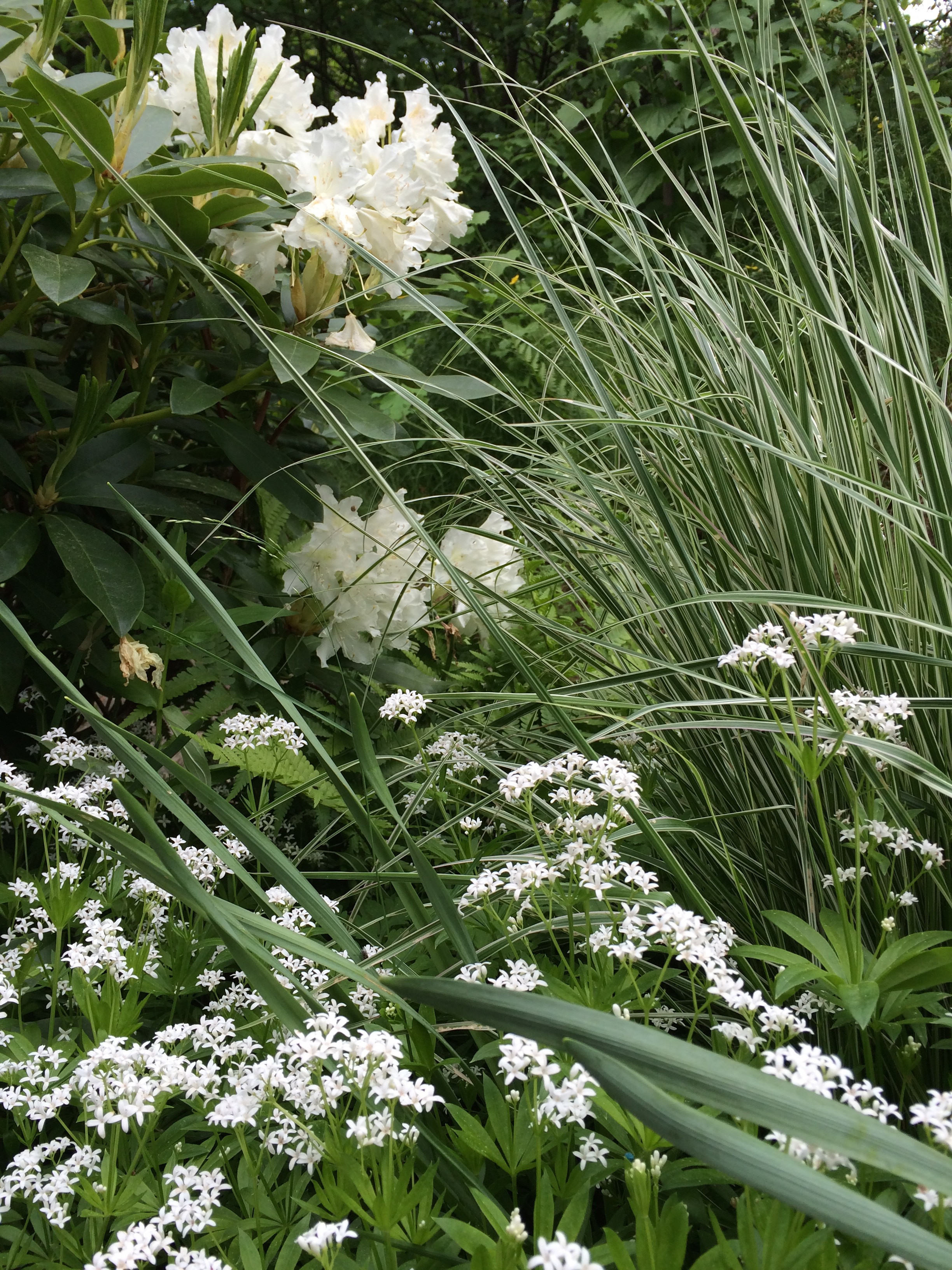 "8. Calamagrostis ""Overdam"" med vänner på våren"