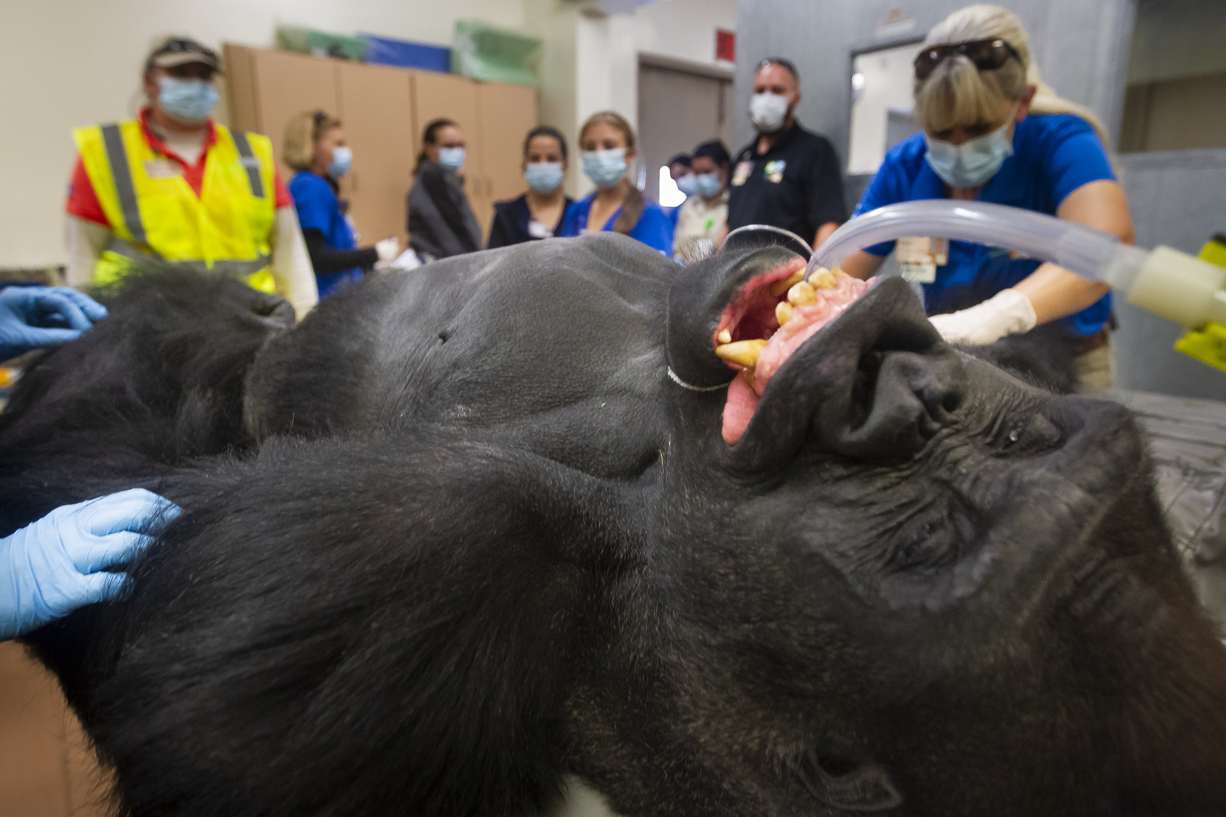 Barney, the 25-year-old silverback gorilla, gets his annual checkup at Zoo Miami on Tuesday, December 11, 2018. Zoo Keepers were concerned by Barney's persistent cough and after his examination they learned he has mites in his airways.