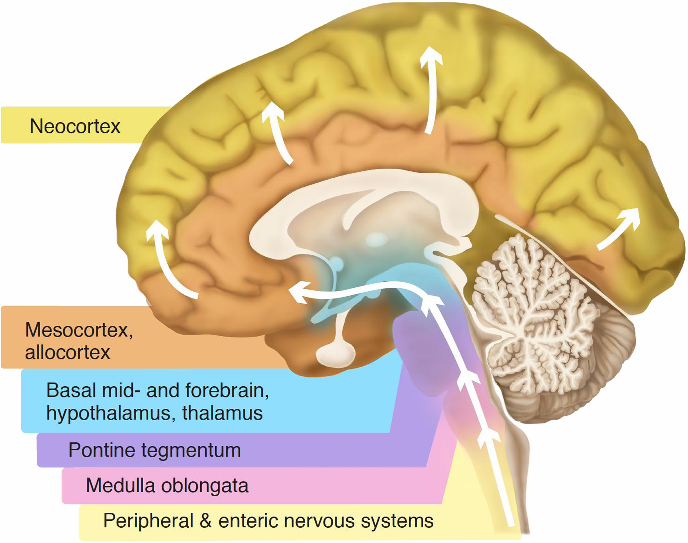 The arrow indicates to how it is speculated the brain developed over time, the neocortex being what essentially propelled human innovation