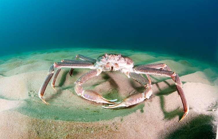 Image recognition of the snow crab, identifying it in the international waters of the Barents Sea