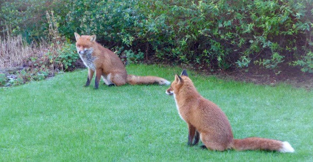 Foxes in Dixon Gardens, January 2016