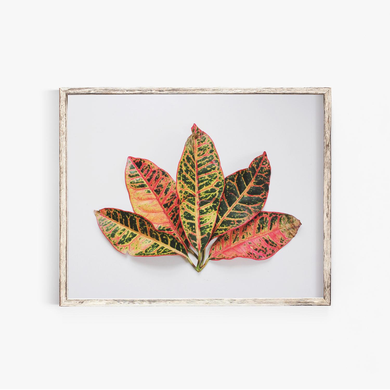 Pink Leaf Fan Photography Print