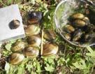 shoal creek mussels.jpg