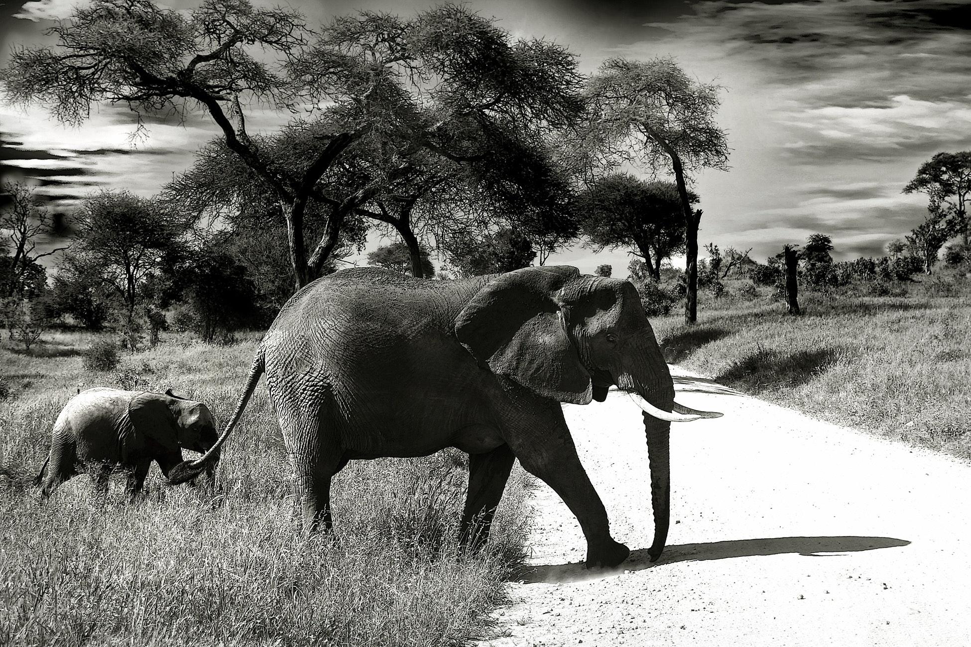 animals-black-and-white-elephants-37861.jpg