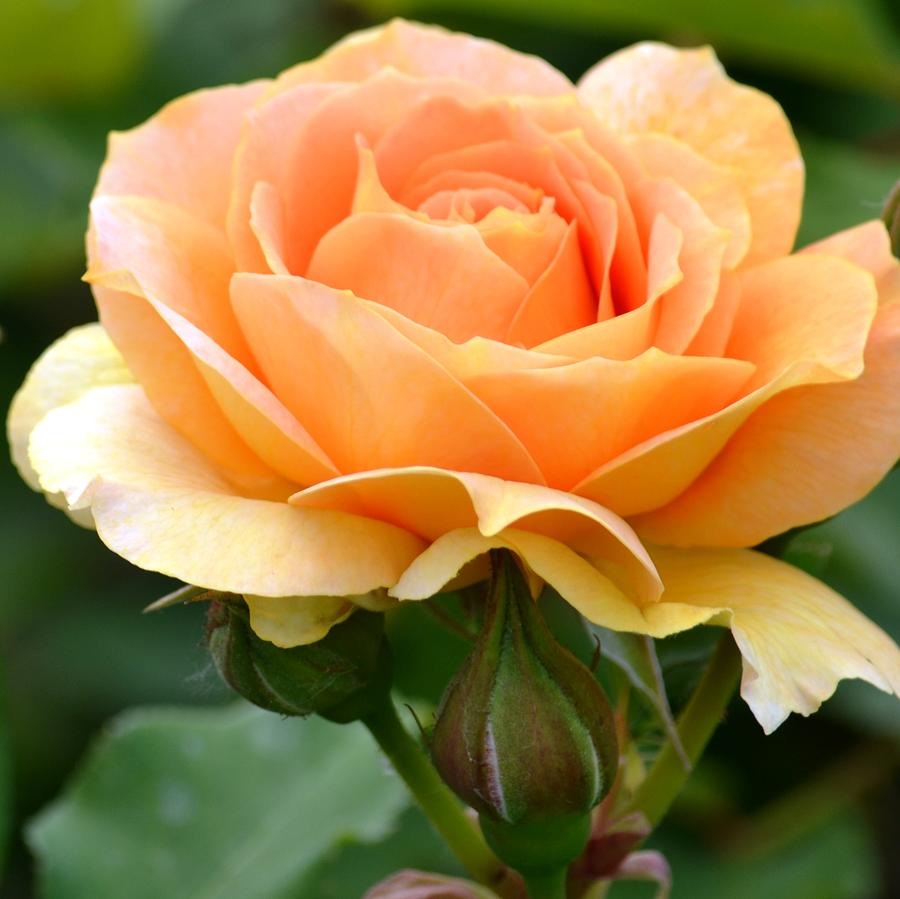 My dear friend Tia was a lover of flowers and roses, and this beautiful peach rose is in honor of her beautiful spirit and LBAMS way of showing true sincerity and gratitude to her loved ones.