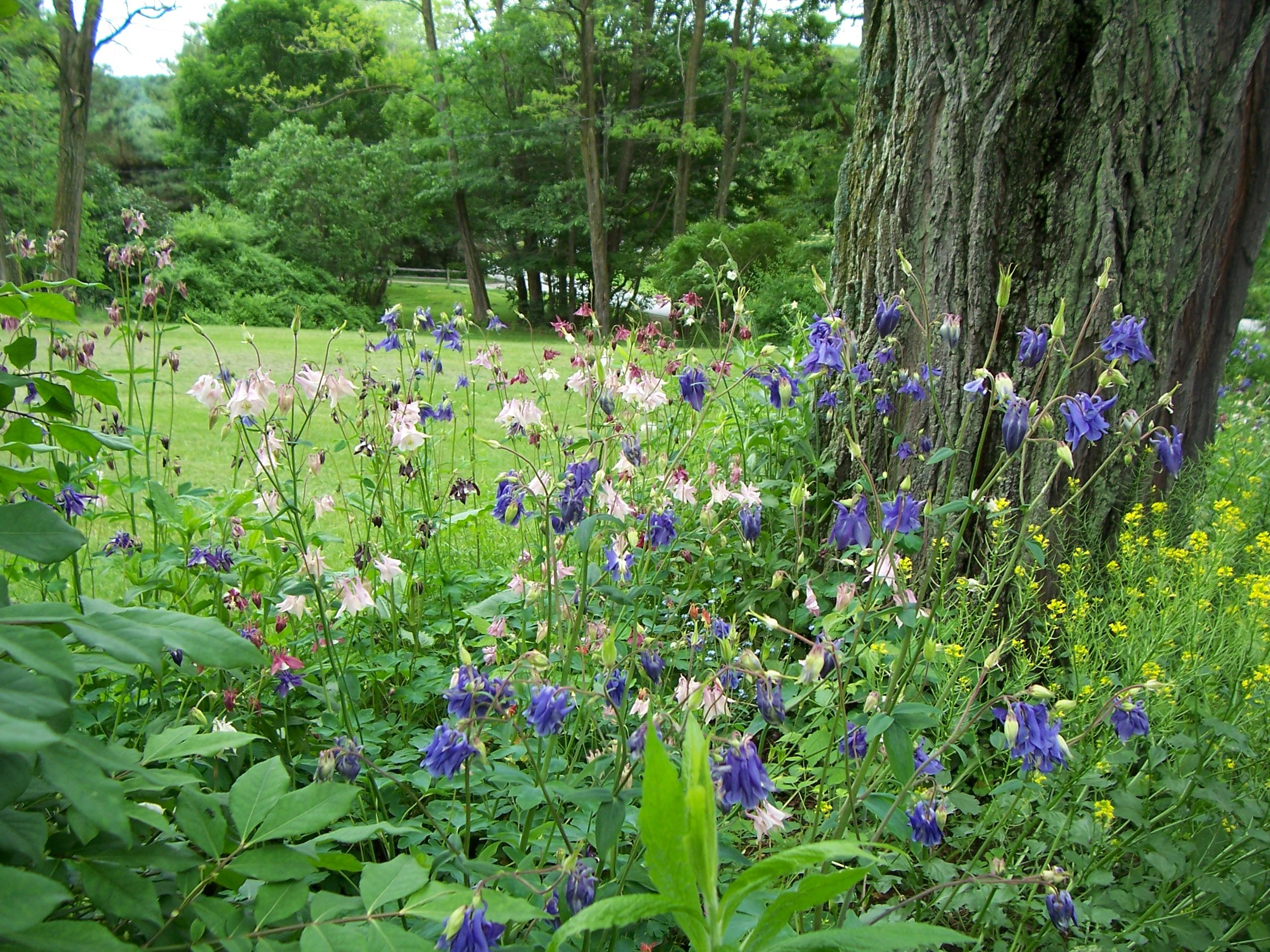 Blue, white and pink columbines found a home next to the trunk of a black locust tree.