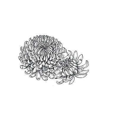 Chrysanthemum Morifolium Flower _@.png