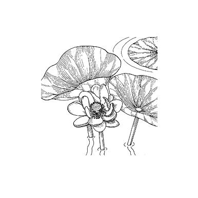 melumbo Nucifera Flower Extract.png