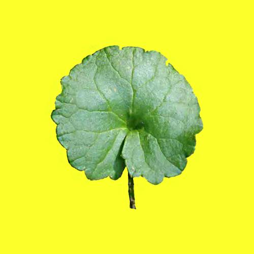Centella Asiatica -