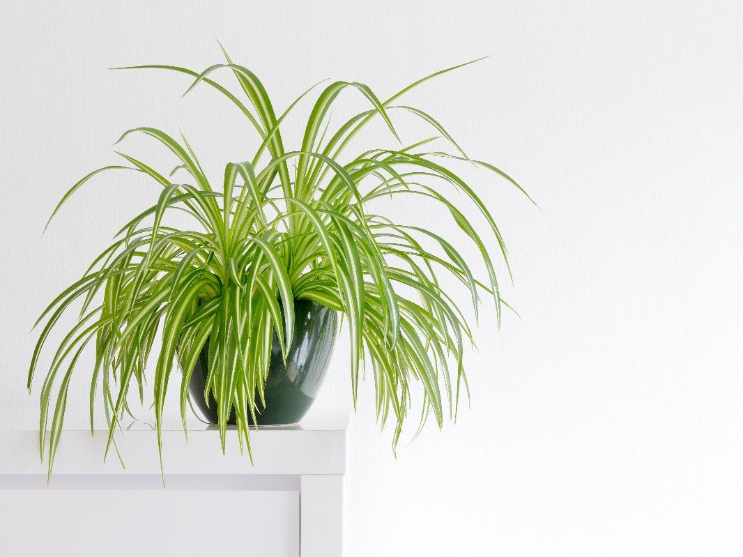 SPIDER PLANT - PHOTO SOUCE  ILOVEQATAR