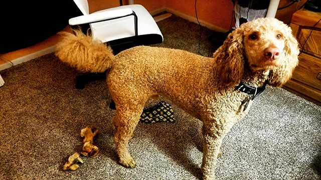 I like to bring ALL my bones and toys into Mom's office and chew them right up against her chair while she is on calls. 💗 .. .. .. .. .. .. .. .. .. .. #poodles #doglife #ruffpost #614dogs #doge #standardpoodle #redstandardpoodle #spoo #spoodle