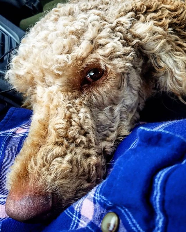 """I'm trying to be cool about this, but Mom said """"Let's go to the park!"""" NOT """"Let's go to the park, sit in the car and watch the rain for a while!"""" 😭😭😭 .. .. .. .. .. .. .. .. .. .. #dogs #friyay #poodle #spoo #spoodle #rainyday #standardpoodle #redpoodle #redstandardpoodle #doge #doglife #ruffpost #614dogs"""