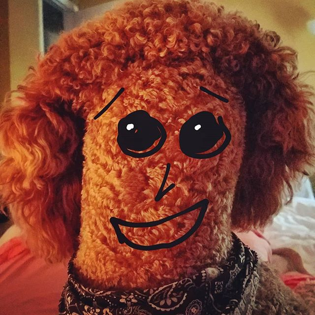 I'm so sorry to hear about your couch cushion, Ms. Mars! Lenny is not here right now, but I can take a message for you and he will be happy to discuss the issue when he returns. 😊 .. .. .. .. .. .. .. .. .. .. #poodles #standardpoodles #poodlesofig #poodlesofinstagram #redstandardpoodle #spoodle #spoo #redpoodle #goodboy #baddog #614dogs #ohiodogs