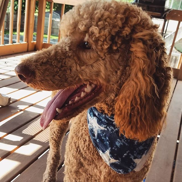 Red white and blue boi! Happy 4th to my fellow American puppers!!🇺🇸 .. .. .. .. .. .. .. .. .. .. .. #4thofjuly #happy4th #patrioticpup #dogs #doglife #adventuredog #ohiodogs #usa #614dogs #61fur #poodles #standardpoodle #redpoodle #redatandardpoodles #poodlesodinstagram
