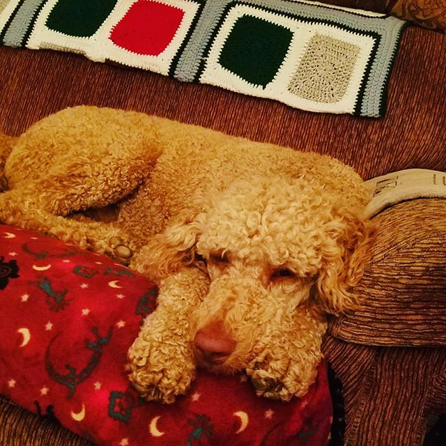 I sure wish Grandma was home today... but I will keep her spot warm while she's gone! zZz 😴🐩 .. .. .. .. .. .. .. .. .. .. .. .. .. #dogs #doglife #sleepyboy #poodles #standardpoodles #ohiodogs #redstandardpoodle #sleepy #doge