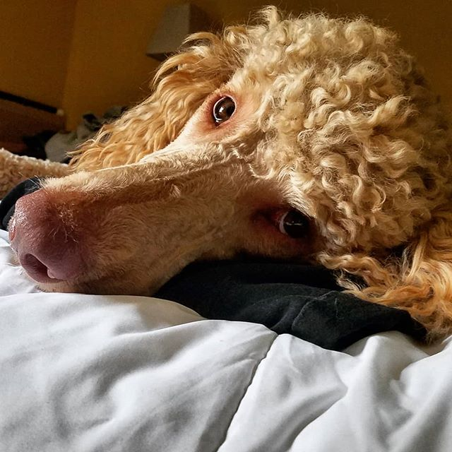 It's so cute when Mom thinks she can fold laundry without me stealing at least one sock. 🐩😇 .. .. .. .. .. .. .. .. .. .. .. .. #dogs #goodboy #doglife #614dogs #poodles #61fur #standardpoodle #spoo #spoolife #spoodle #redstandardpoodle #ohiodogs #doge