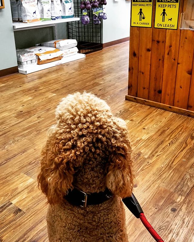 Mom said I was a VERY #goodboy today at the vet. Four pokey shots, a stick up the butt and not even a tiny yelp out of me! 😇🐩 .. .. .. .. .. .. .. .. .. .. .. #doglife #dogs #poodles #standardpoodles #standardpoodlesofinstagram #spoo #spoodle #redpoodle #redstandardpoodle #poodlesofig #ohiodogs #614dogs