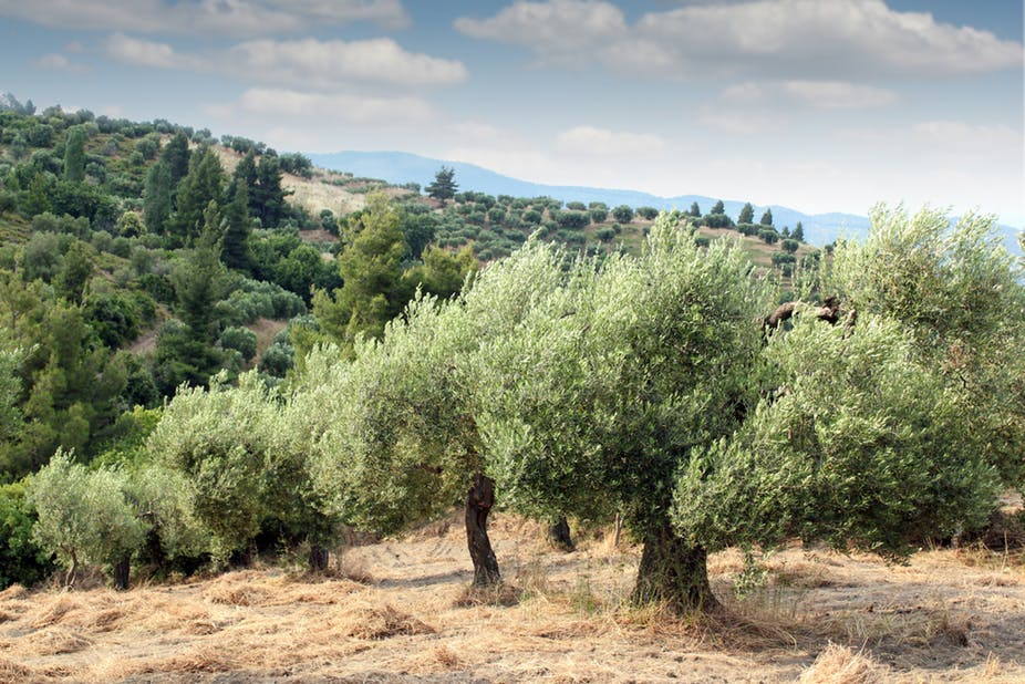 olice tree.jpg