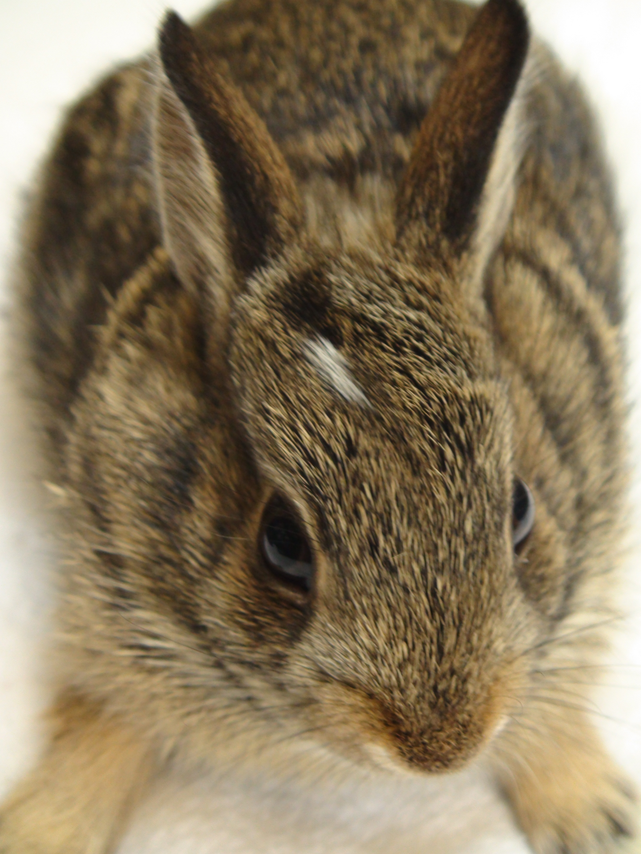 This very young rabbit has his eyes open and ears up. If found outside the nest, he is ready to go out on his own, regardless of his small size.