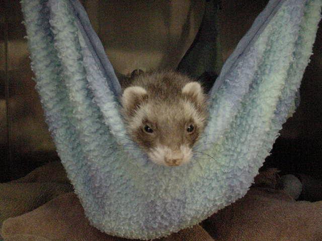 ferret-hammock.jpg