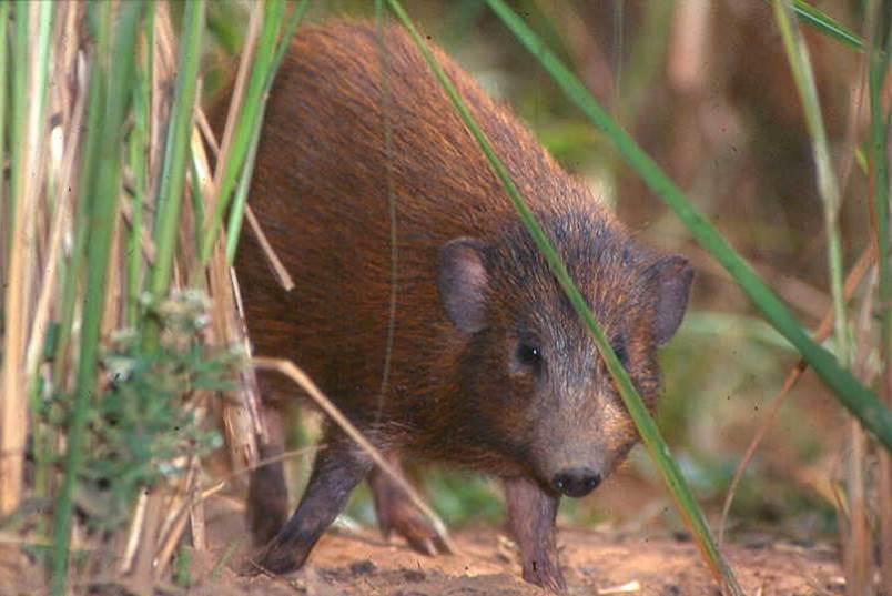 I4 pygmy hog.jpg