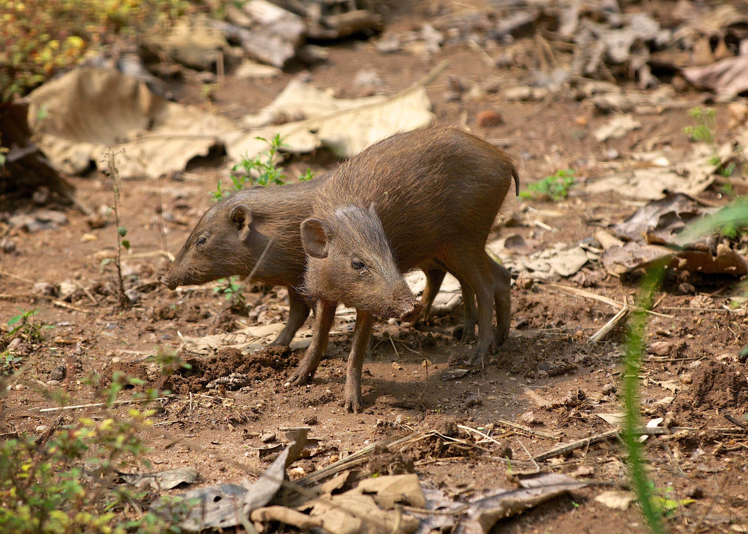 Reintroducing Pygmy Hogs into Assam