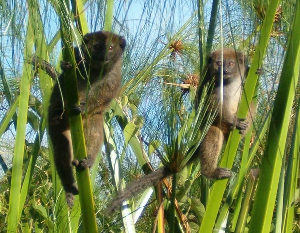 17G lemurs at Lac Alaotra.jpg