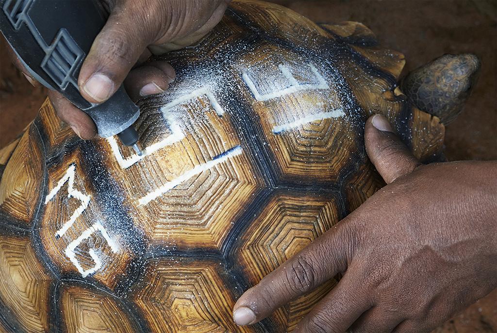 Field Pr Madagascar Ploughshare tortoise engraving_TimFlach.jpg
