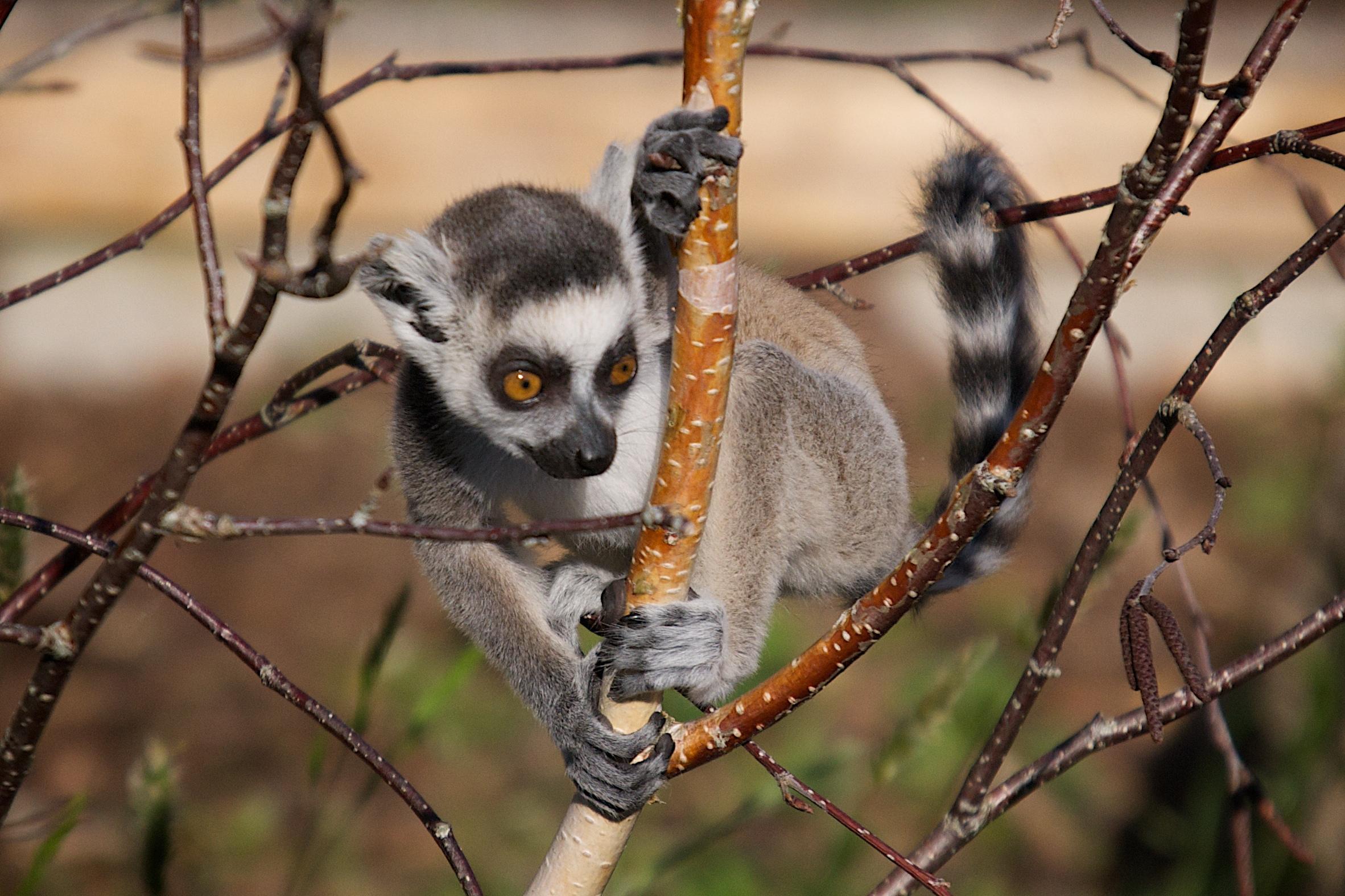 Jersey Zoo Kirindy Wee Ringtailed Lemur 5.jpg
