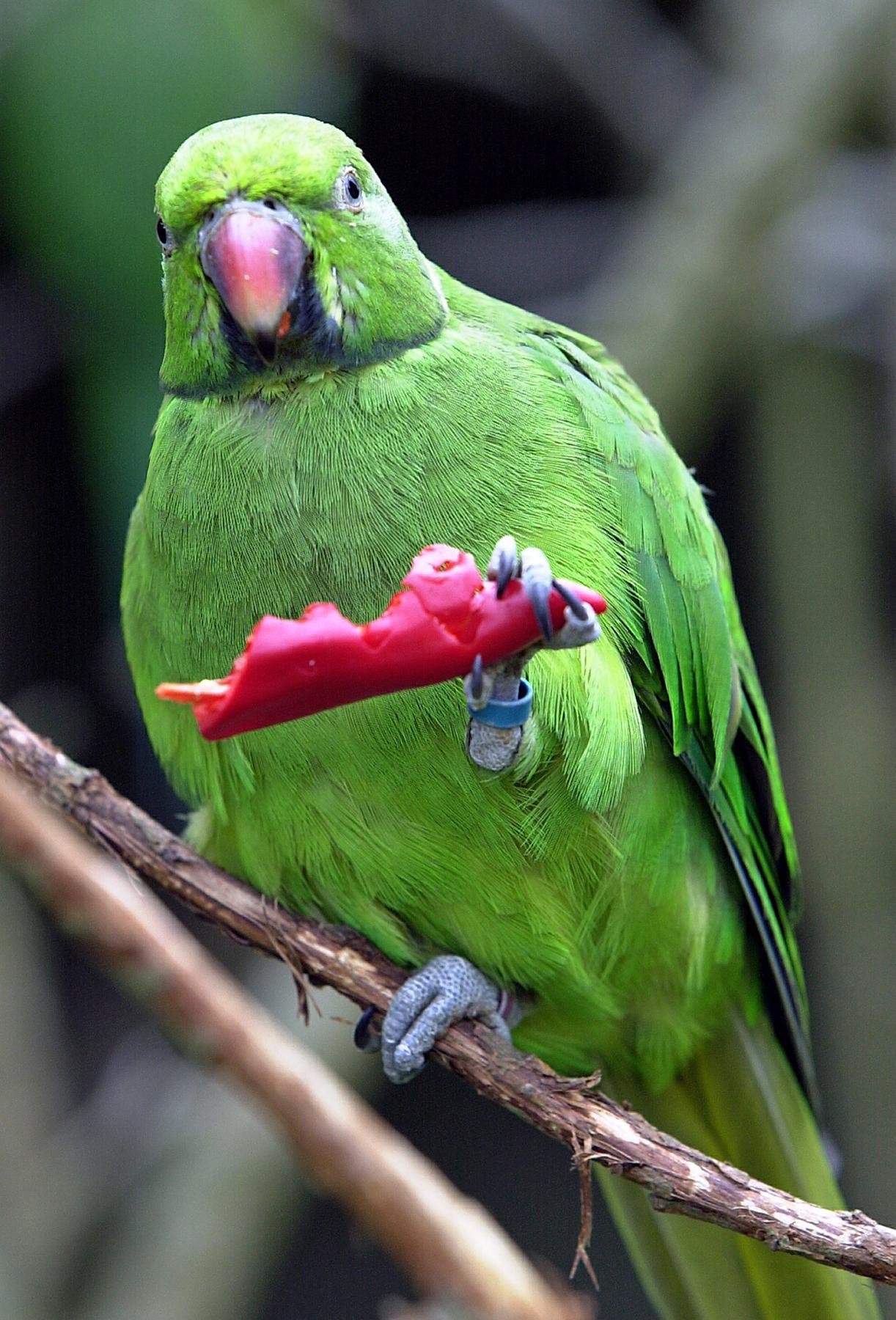 Jersey Zoo or Field Pr echo parakeet & chilli pepper 7 JM.jpg