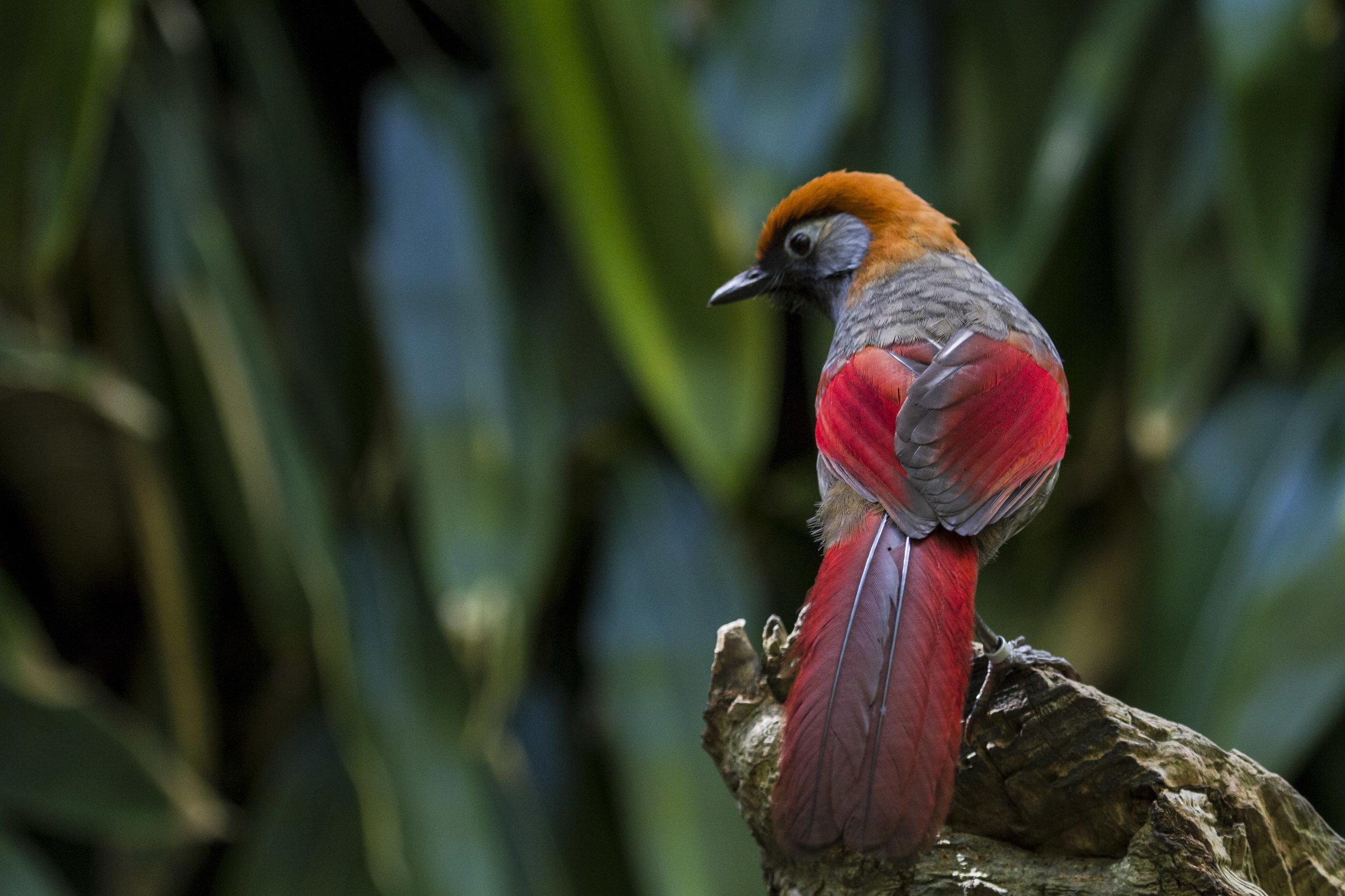Jersey Zoo red-tailed laughingthrush.JPG