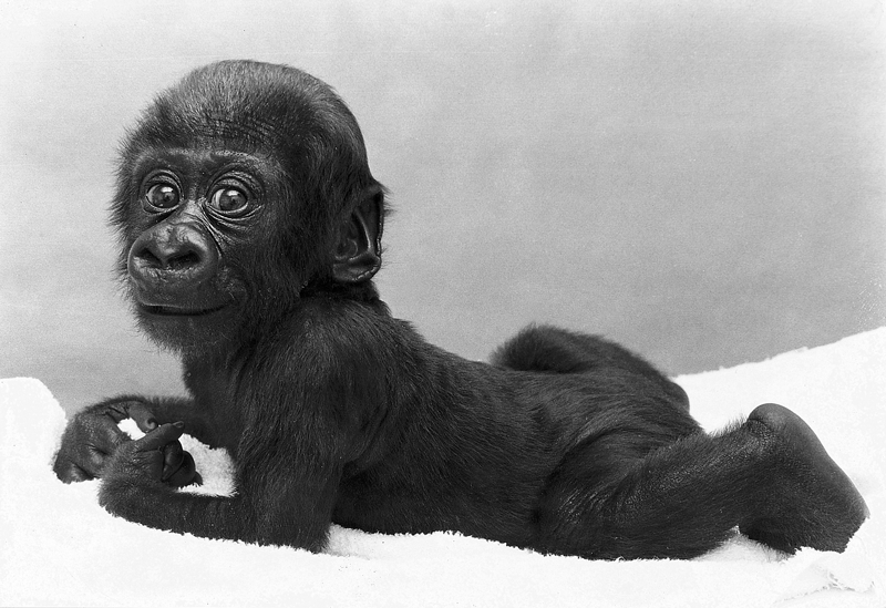 Jersey-Zoo-1976-baby-gorilla.png