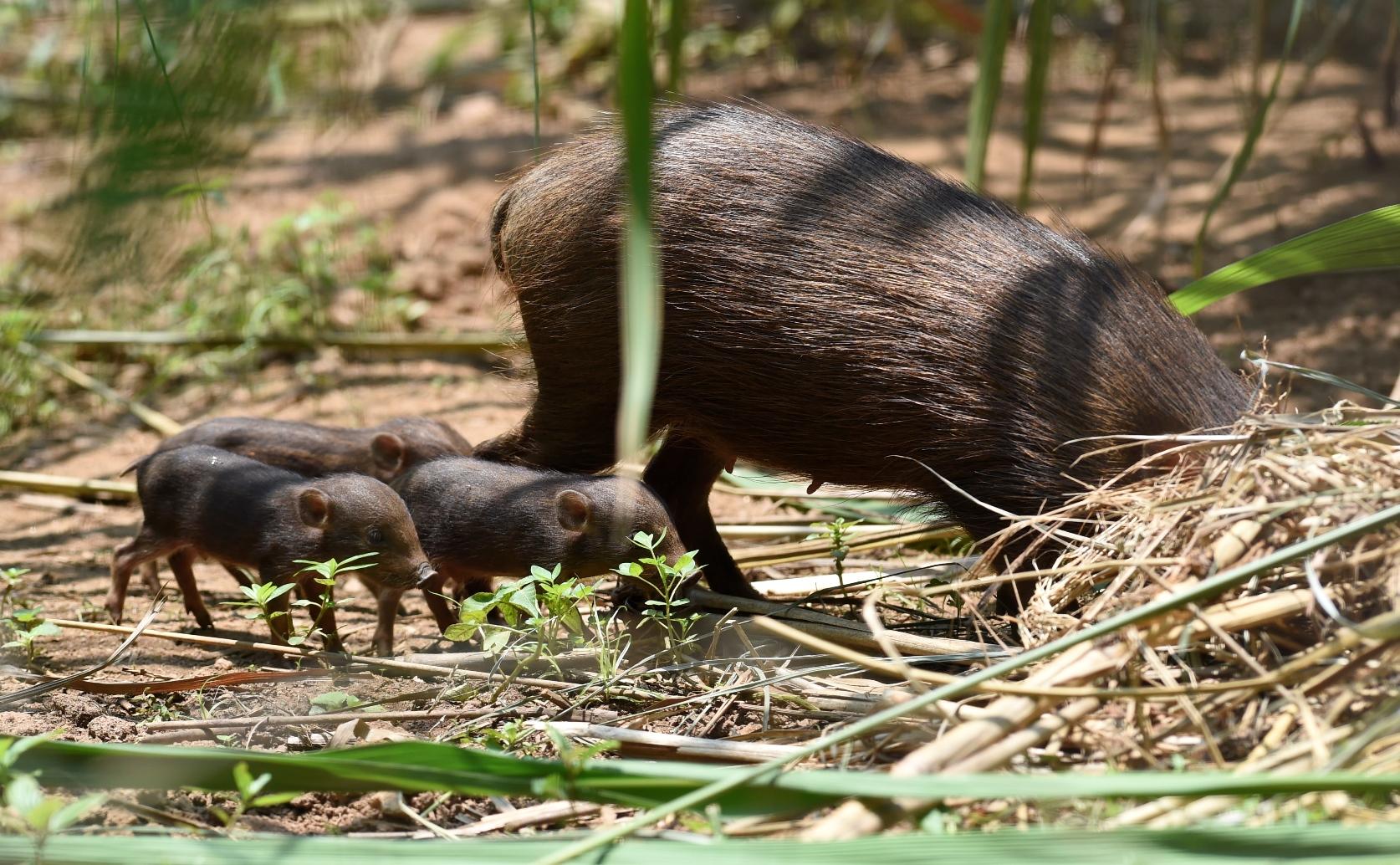 pygmy hog.jpg